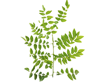 Sophora japonica clipart freeuse library Natura Estonica Sophora Japonica face tonic freeuse library