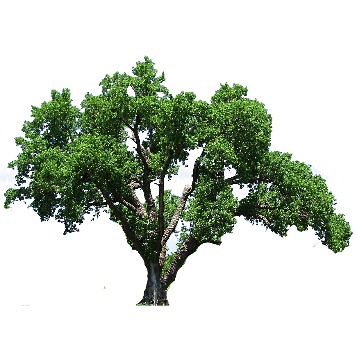 Southern live oak clipart clipart transparent Southern live oak Tree Flowering dogwood Clip art - tree png ... clipart transparent