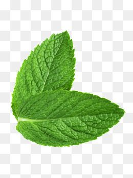 Spearmint clipart image royalty free 2019 的 Green Fresh Mint Leaves | leaves 主题 image royalty free