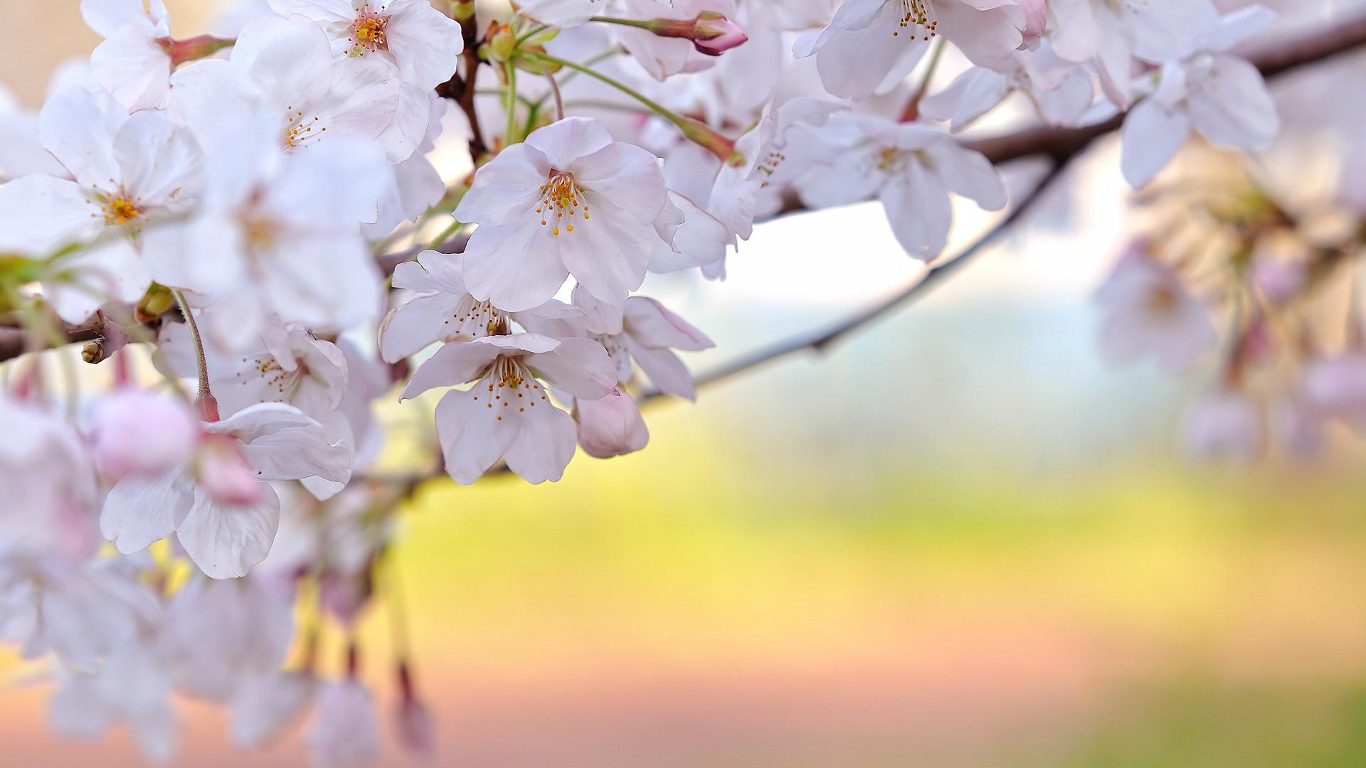 Spring flower pictures download clipart transparent Spring Flowers Backgrounds HD (30+) | PixelsTalk.Net clipart transparent