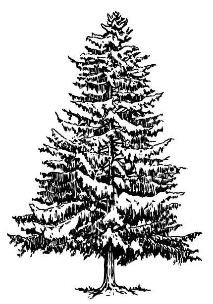 Spruce clipart graphic freeuse download Spruce Tree Illustration Clipart Free Stock Photo - Public ... graphic freeuse download