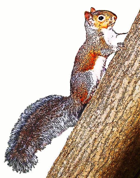 Squirrel clipart public domain jpg royalty free stock Free Squirrel Clipart, 1 page of Public Domain Clip Art ... jpg royalty free stock