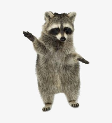 Standing up racoon clipart black and white free Small Raccoon Standing Up PNG, Clipart, Animals, Bear, Coon ... free