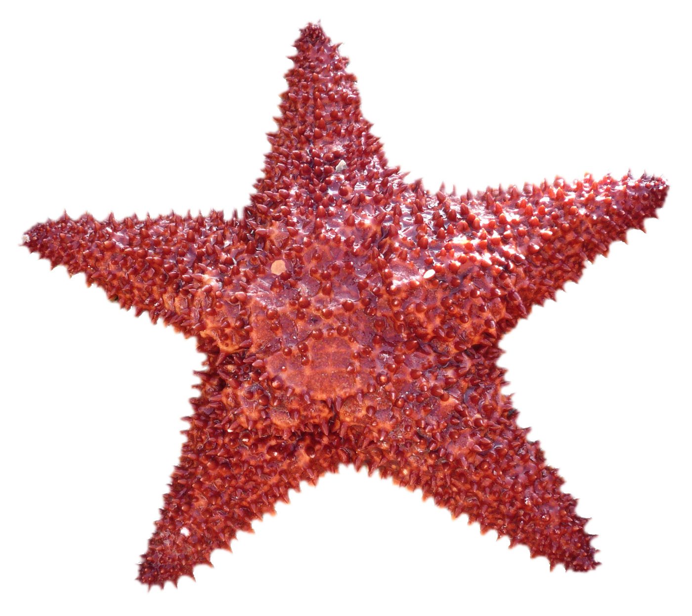 Star fish clipart png image transparent stock Starfish PNG Image - PurePNG | Free transparent CC0 PNG Image Library image transparent stock