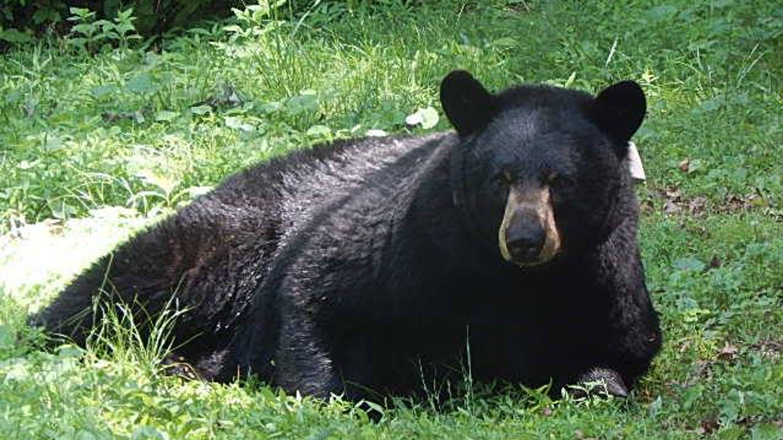 State bear north carolina clipart transparent download Sneak peek at black bear movements, behavior in Asheville ... transparent download
