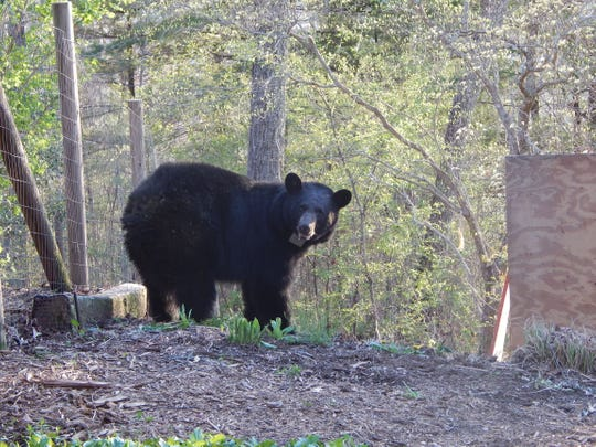 State bear north carolina clipart picture black and white Sneak peek at black bear movements, behavior in Asheville ... picture black and white