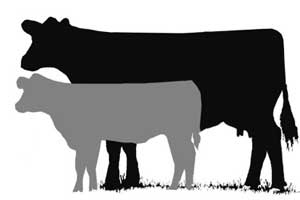Steer calf clipart 4h graphic freeuse Steer Clipart | Free download best Steer Clipart on ... graphic freeuse