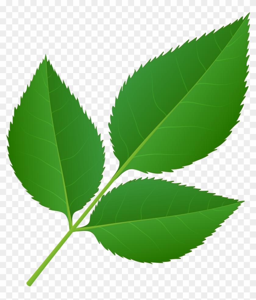Stem leaf clipart clip stock Leaves Of Rose Stem Transparent Png Clip Art Imageu200b, Png ... clip stock