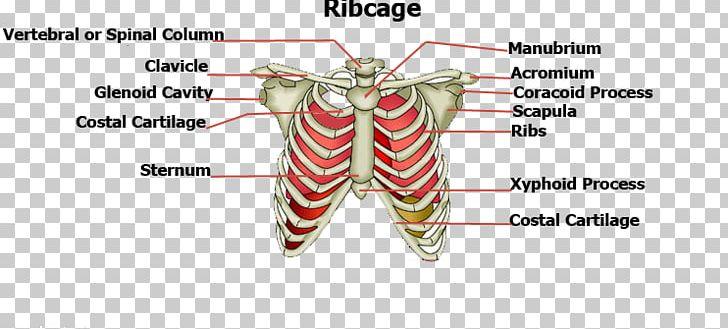 Sternum clipart image stock Rib Cage Sternum Human Body Bone PNG, Clipart, Body, Body ... image stock