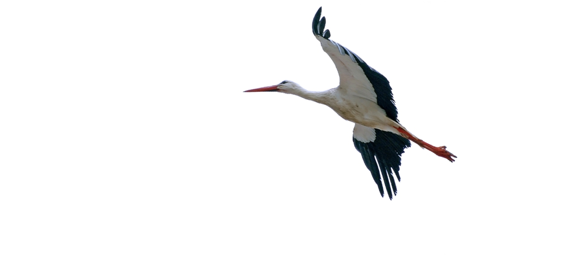 Stork flying clipart clipart library download Free Flying Stork, Download Free Clip Art, Free Clip Art on ... clipart library download