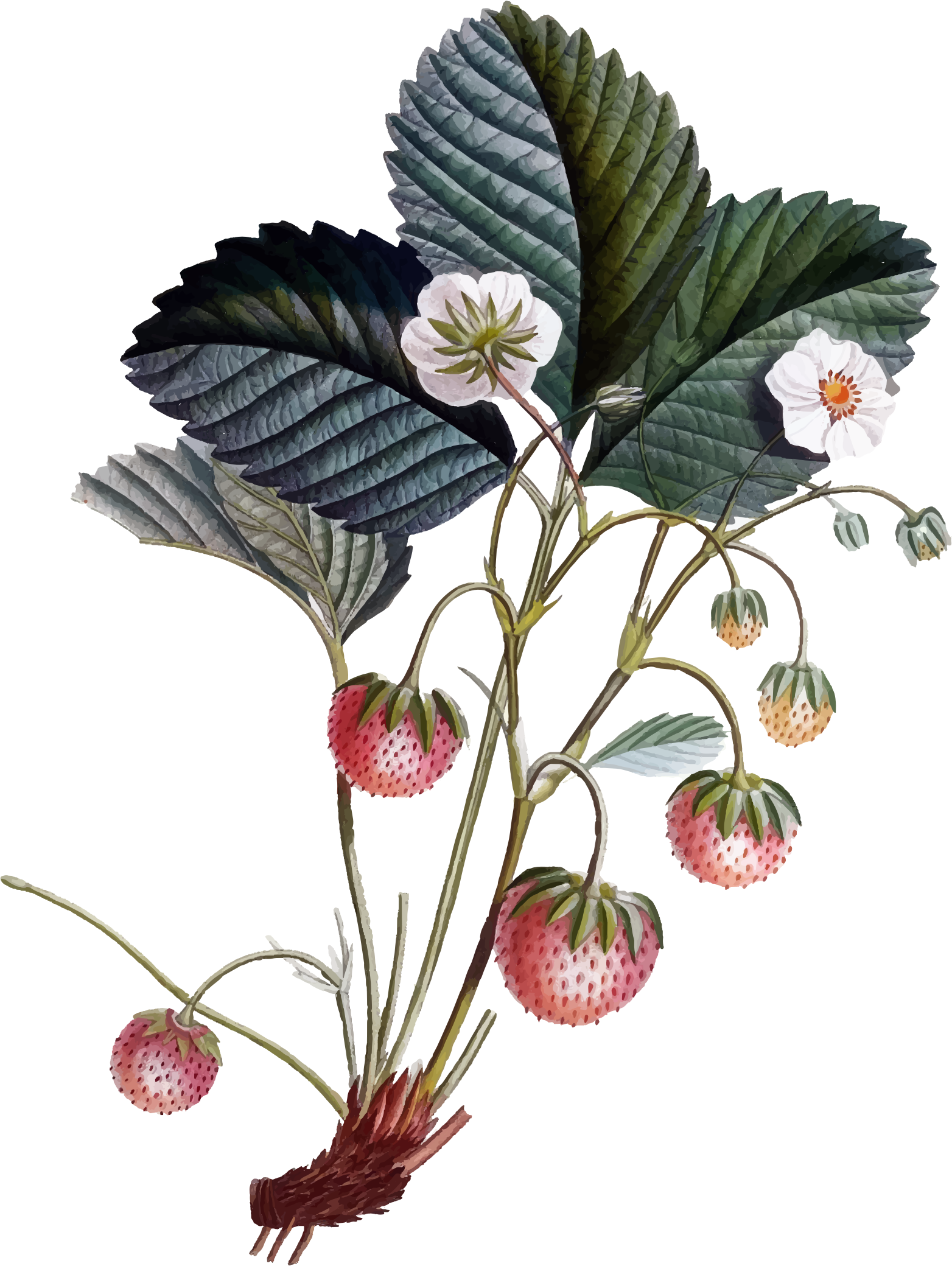 Strawberry flower clipart svg free download Clipart - Strawberry Plant svg free download