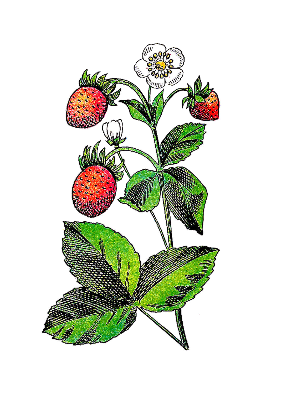 Strawberry flower clipart picture freeuse stock Strawberry Flower Fruit Plant Clip art - Flower Berries Cliparts ... picture freeuse stock