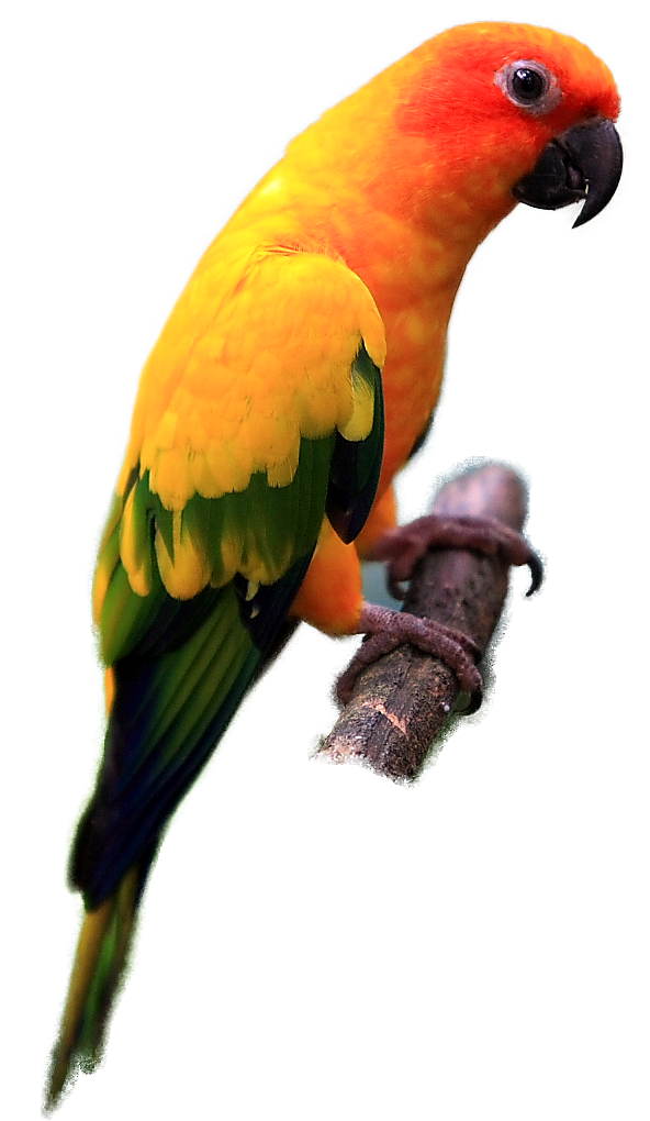 Sun conure clipart png clip art transparent download Indian parrot Png images free download clip art transparent download
