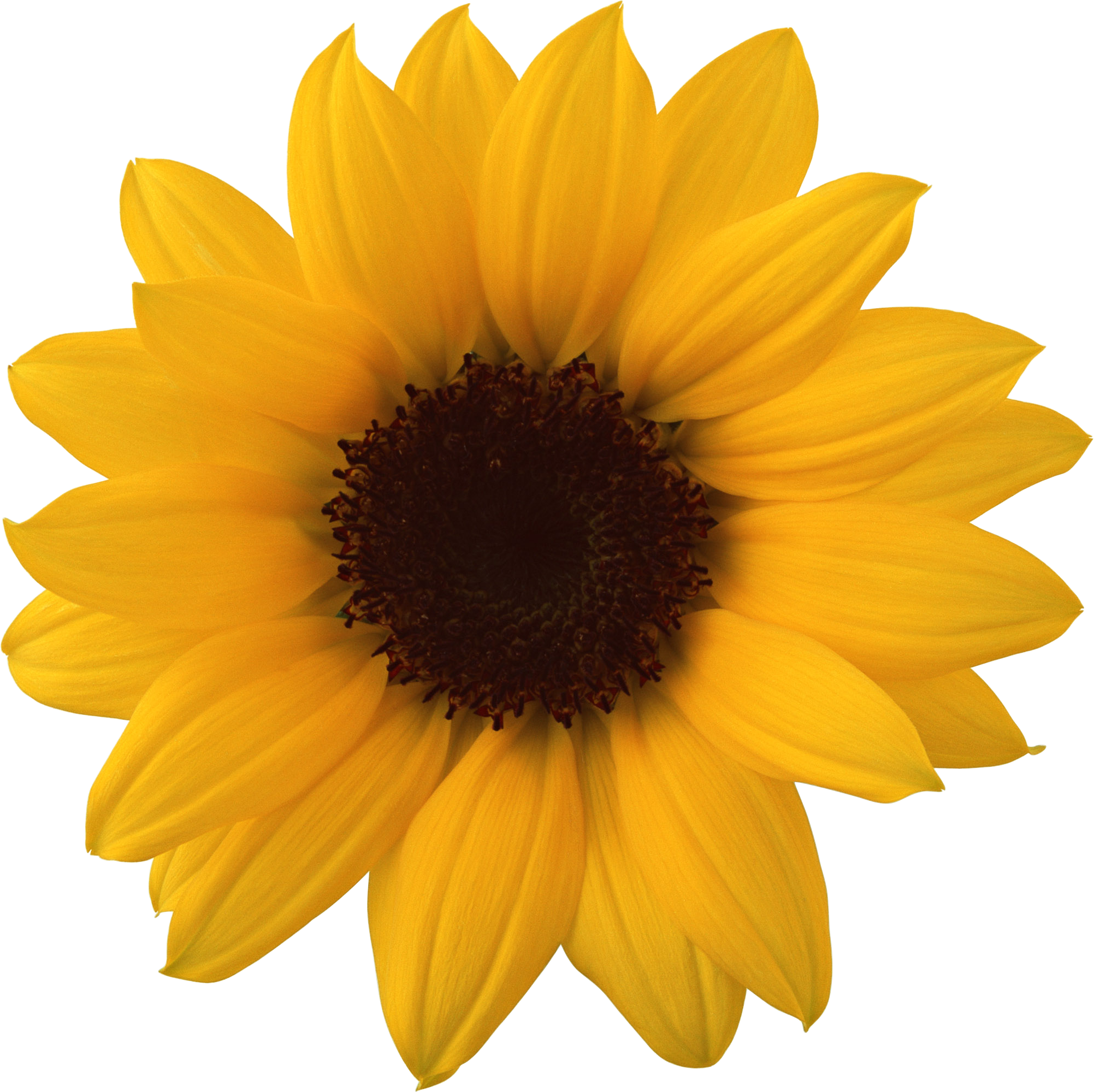 Sun flower clipart image royalty free Realistic Sunflower Clipart | jokingart.com Sunflower Clipart image royalty free