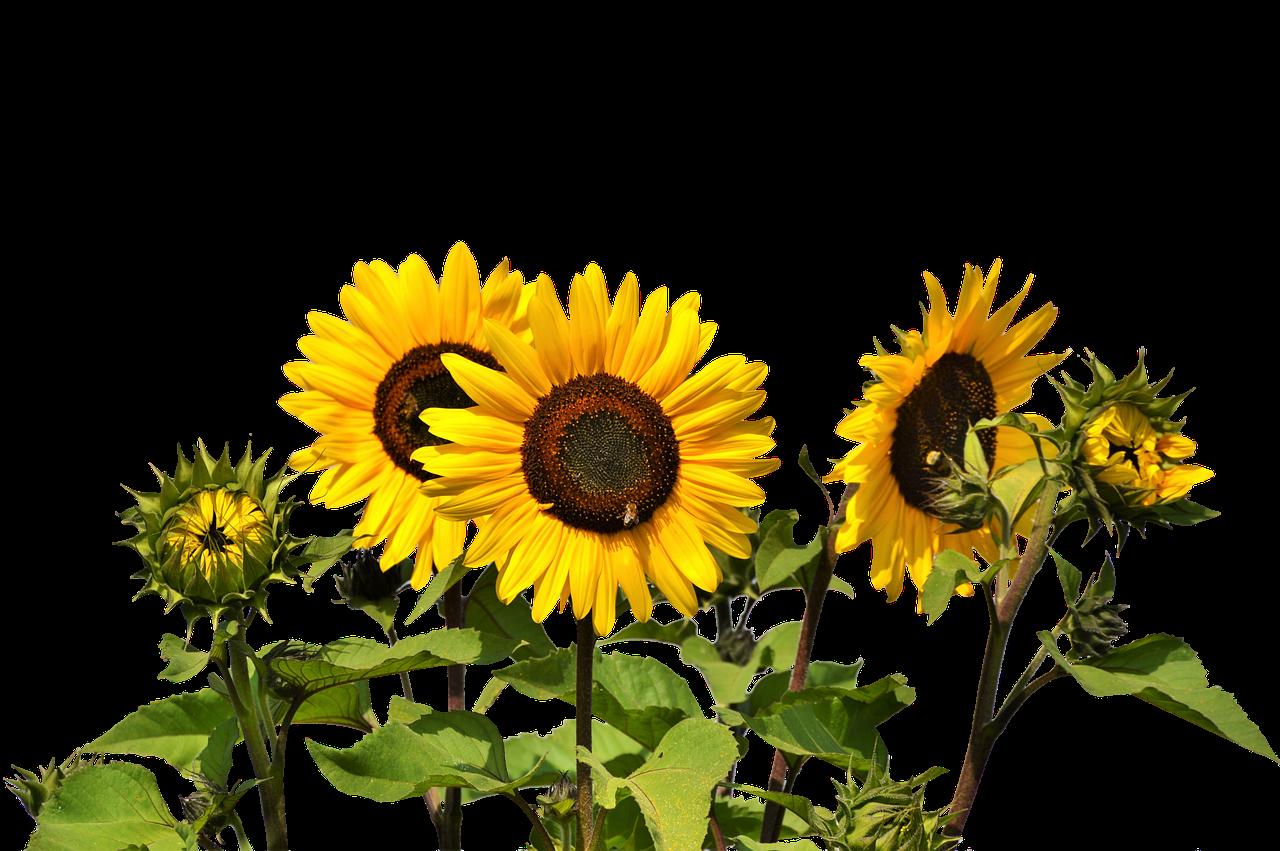 Sun flower seed clipart clip art freeuse library Common sunflower Clip art - sunflower oil 1280*851 transprent Png ... clip art freeuse library