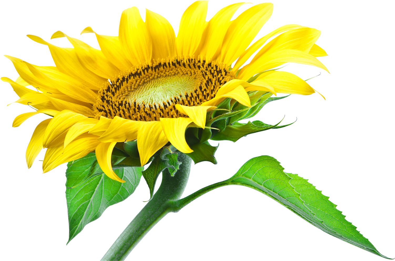 Sun flower seed clipart png black and white library Sunflower PNG images transparent background png black and white library