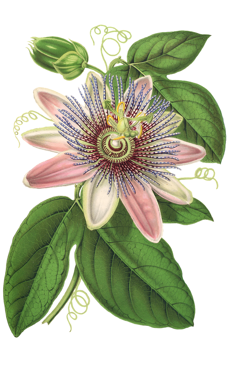 Sun garden friends beer flower plant clipart clipart freeuse library Free Image on Pixabay - Passion Flower, Flower, Plant | Pinterest ... clipart freeuse library