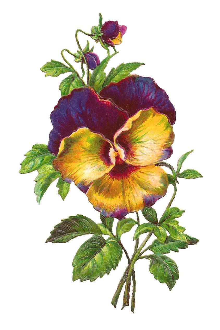 Sun garden friends beer flower plant clipart transparent digital pansy flower image | Pansies and violets, vintage ... transparent