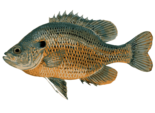 Sunfish clipart graphic freeuse Great Clip Art of Freshwater Fish | Freshwater Fishing ... graphic freeuse