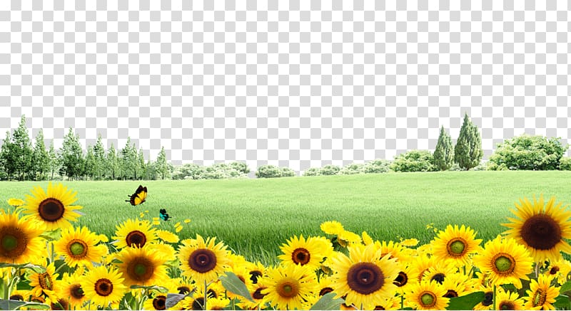 Sunflower background clipart graphic royalty free library Sunflower field, Common sunflower, Meadow sunflower ... graphic royalty free library
