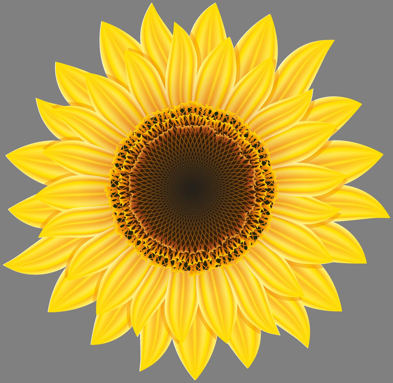 Sunflower cake clipart transparent stock Pin by Next on Clipart | Sunflower png, Sunflower clipart ... transparent stock