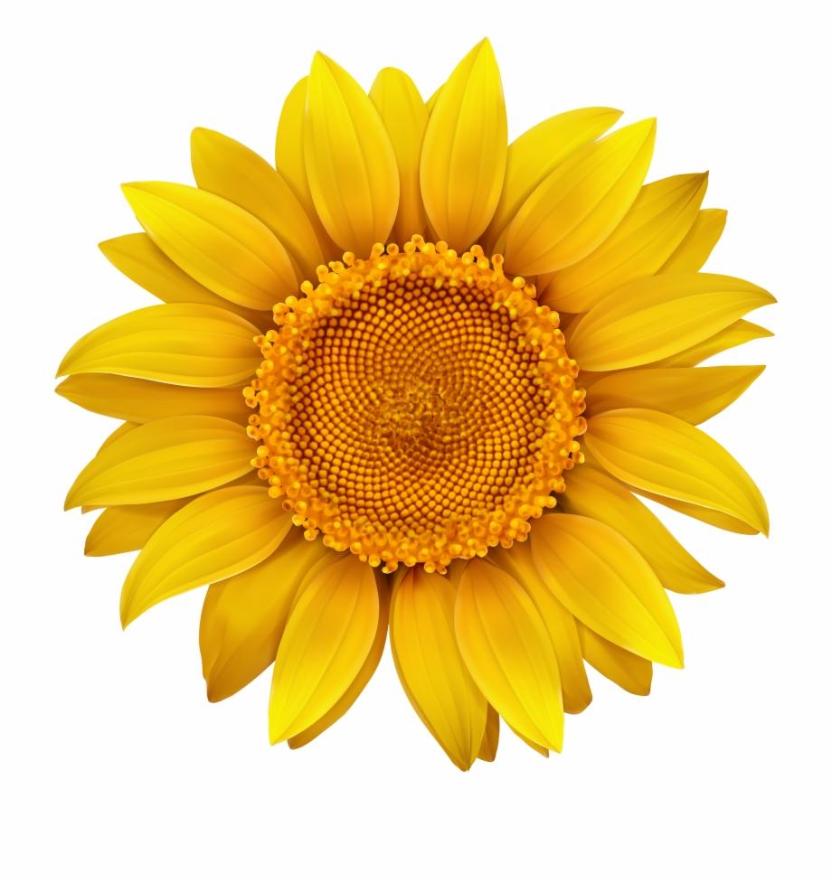 Sunflower clipart transparent freeuse Sunflower Transparent Hi Res - Sunflower Clipart Transparent ... freeuse