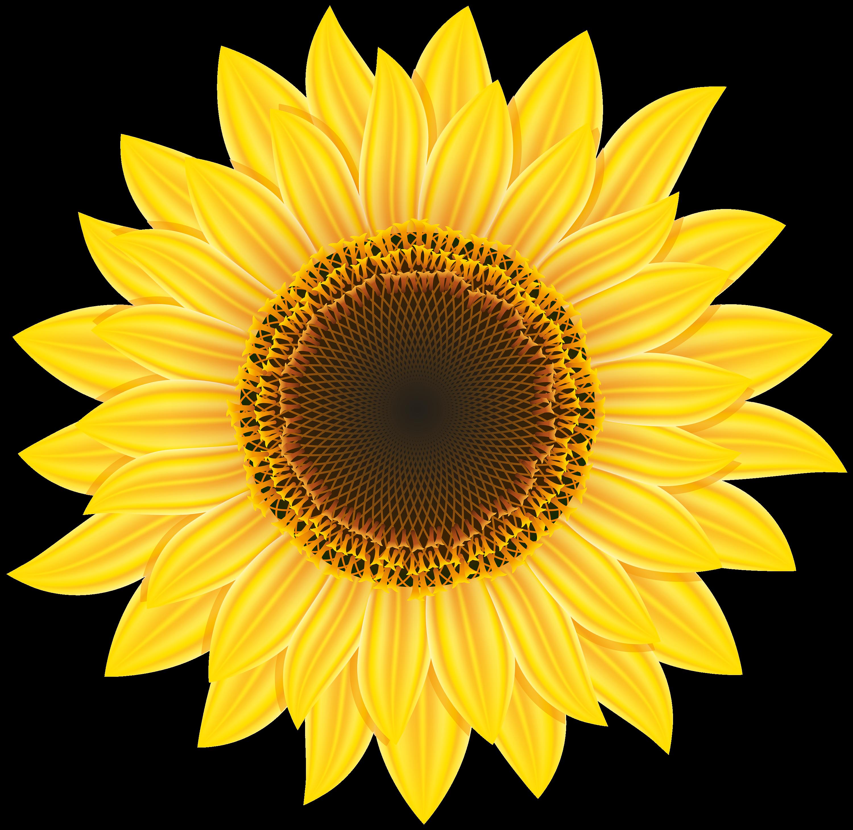 Sunflower clipart transparent banner freeuse Sunflower Clipart Web Transparent Png - AZPng banner freeuse