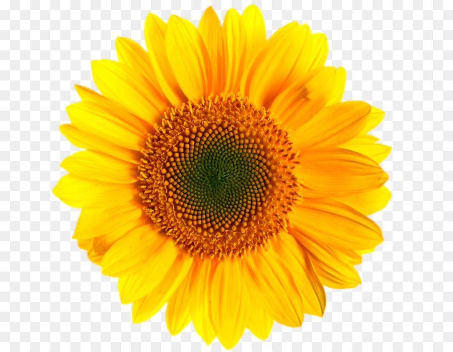 Sunflower clipart transparent picture royalty free download Sunflower Clipart clipart - Flower, Sunflower, Yellow ... picture royalty free download