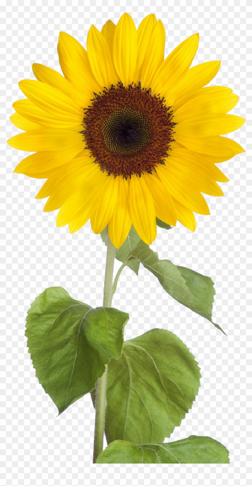 Sunflower clipart transparent clip art royalty free library Sunflower Png Free Download - Transparent Background ... clip art royalty free library