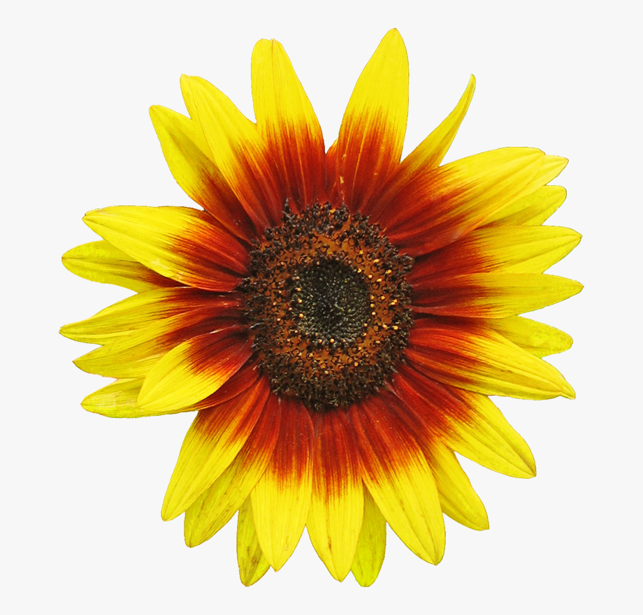 Sunflower clipart vector png free download Free Sunflower Clipart Image 2 Clip Art - Sunflower Borders ... png free download