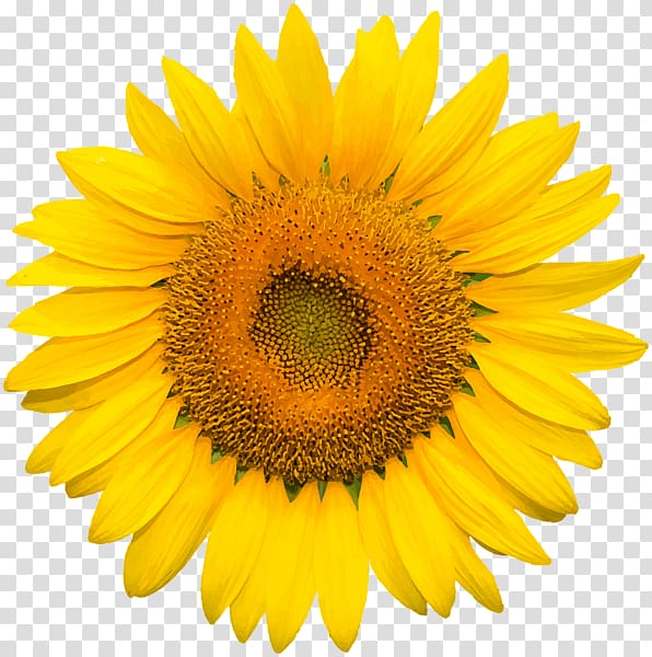 Sunflower flowers and leaves clipart free download Common sunflower Desktop , sunflower leaf transparent ... free download
