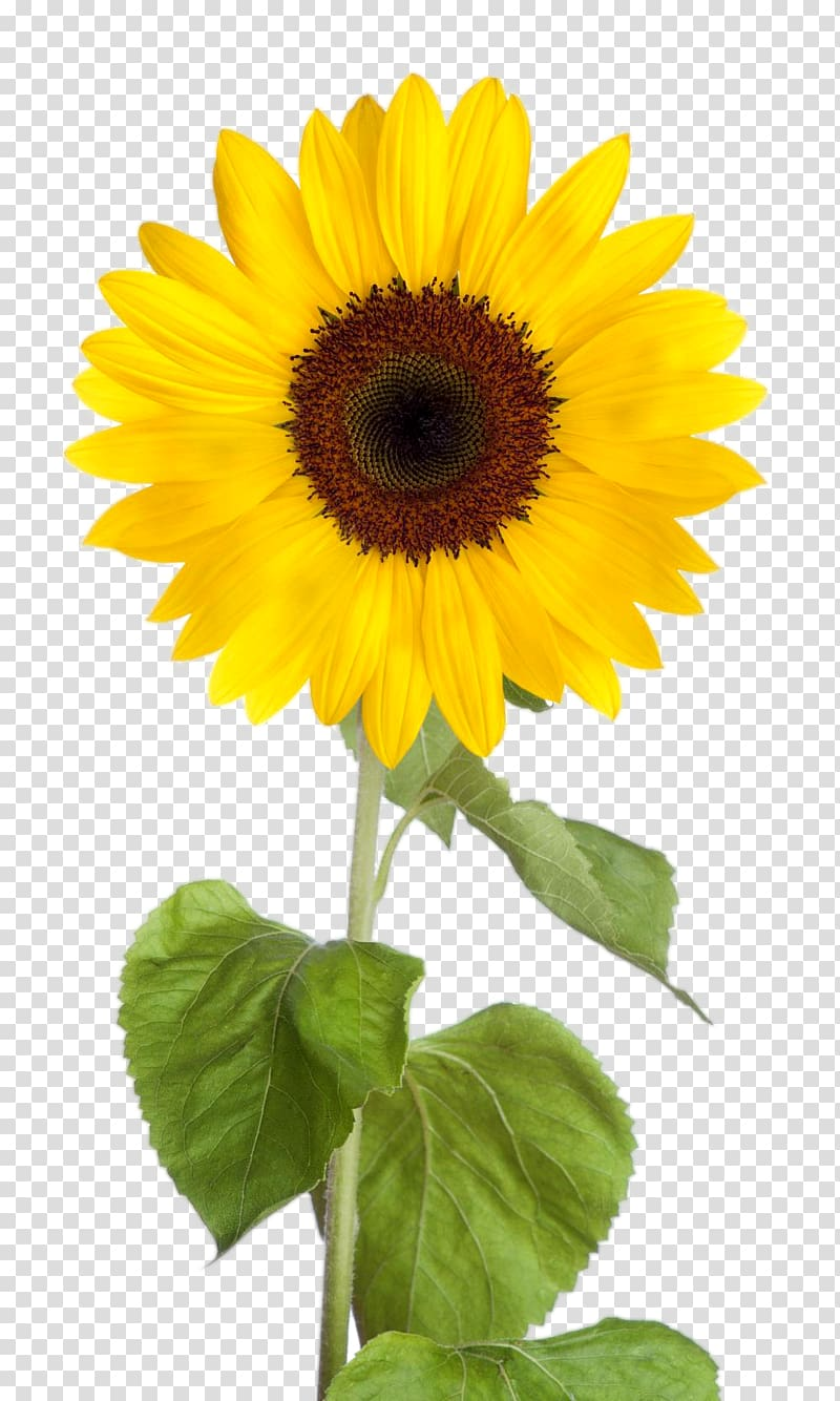 Sunflower flowers and leaves clipart svg royalty free library Common sunflower Desktop , sunflower leaf transparent ... svg royalty free library