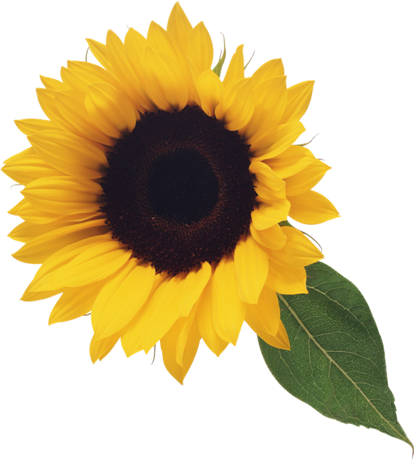 Sunflower flowers and leaves clipart graphic free stock Sunflower with Leaf Clipart | Sunflowers | Sunflower png ... graphic free stock