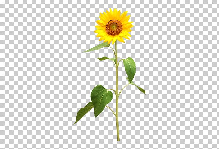Sunflower stock clipart jpg transparent download Common Sunflower Photography Illustration PNG, Clipart, Can ... jpg transparent download