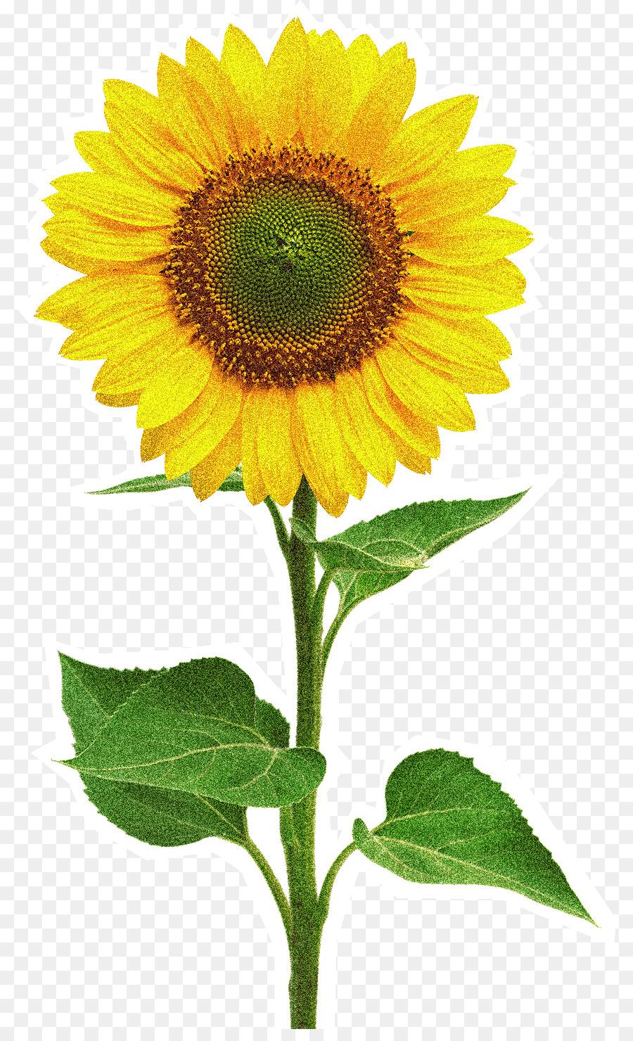 Sunflower stock clipart banner freeuse download Family Cartoon clipart - Flower, Sunflower, transparent clip art banner freeuse download