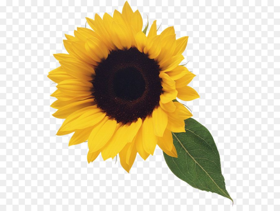 Sunflower stock clipart svg black and white Stock photography Clip art - Sunflower with Leaf Clipart ... svg black and white