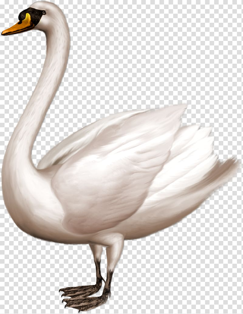 Swan clipart with no background svg library library Cygnini , swan transparent background PNG clipart | HiClipart svg library library