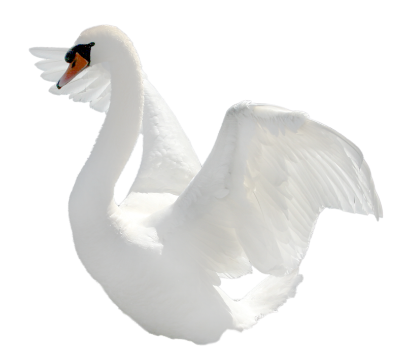 Swan clipart with no background svg library download-Swan-PNG-transparent-images-transparent-backgrounds ... svg library