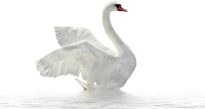 Swan clipart with no background clipart free swan clipart image Archives - Free Transparent PNG Images ... clipart free