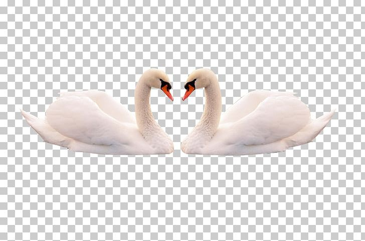 Swans feather clipart jpg transparent Mute Swan Feather Cygnini Bird PNG, Clipart, Animals, Birds ... jpg transparent