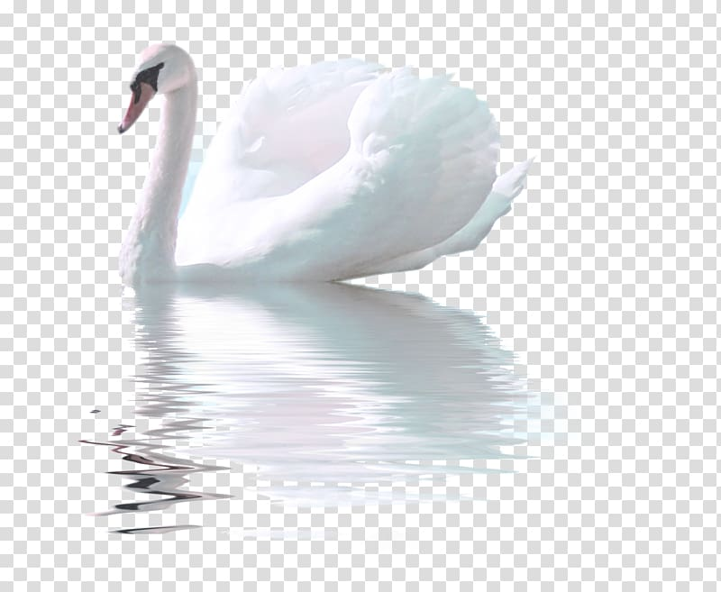 Swans feather clipart transparent stock Swan on body of water , Bird Whistling Swan Goose White Swan ... transparent stock