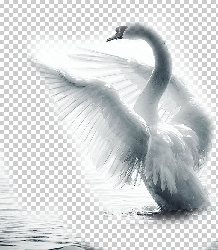 Swans feather clipart image Mute Swan Bird Paper Feather PNG, Clipart, Animals, Beak ... image
