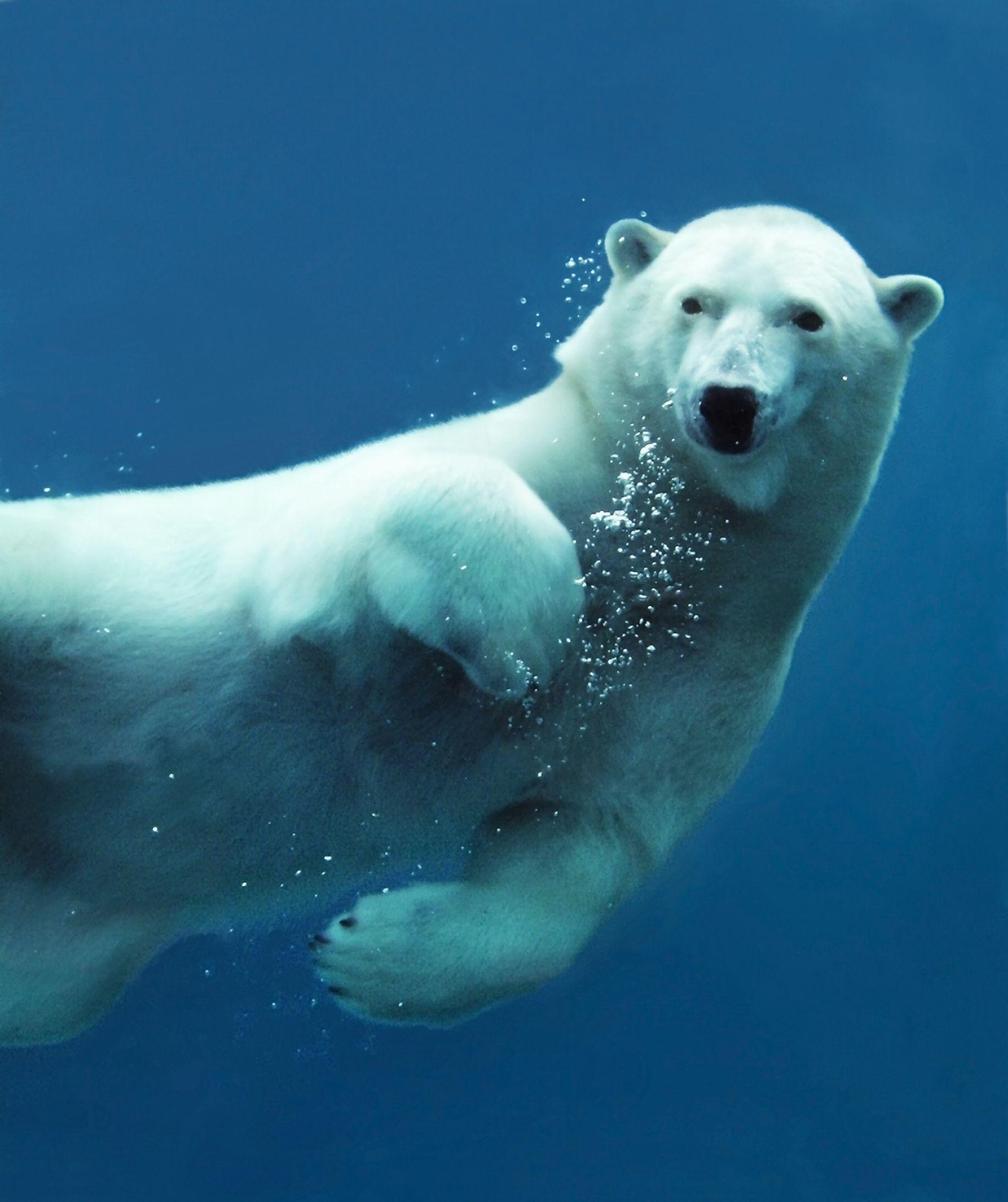 Swimming bear clipart png freeuse stock белый медведь плывет фото: 12 тыс изображений найдено в ... png freeuse stock