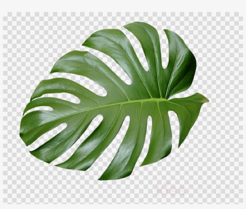 Tropical plant clipart png free Tropical Plant Leaves Clipart Swiss Cheese Plant Tropics ... png free