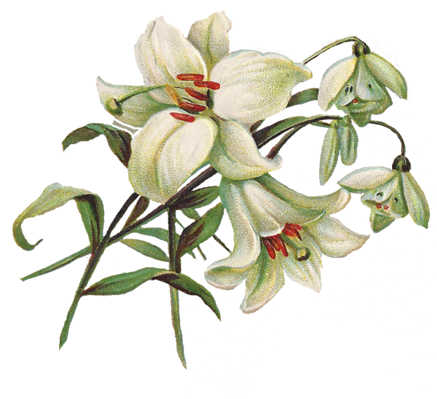 Vintage easter lily clipart