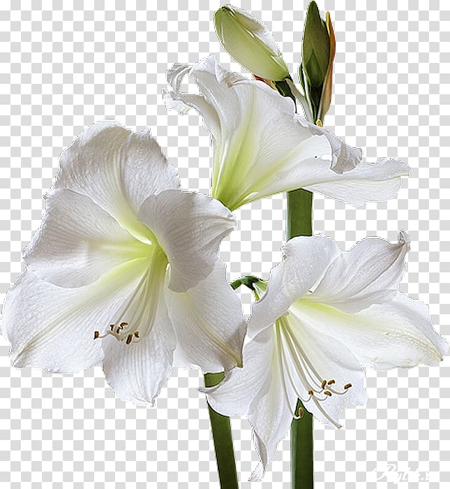 Sympathy clipart pink lillies boarder image stock Condolences God Sympathy Grief Death, white lily transparent ... image stock