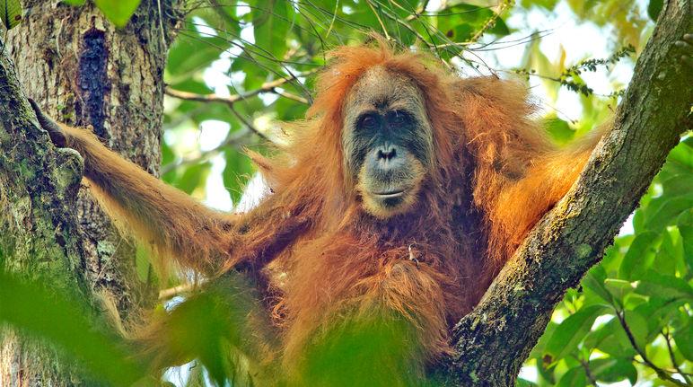Tapanuli orangutan clipart picture royalty free Stop China from bulldozing the Tapanuli orangutan ... picture royalty free