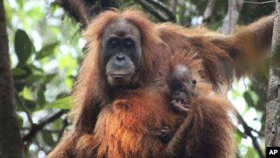 Tapanuli orangutan clipart clipart black and white download New Orangutan Species Discovered in Indonesia clipart black and white download