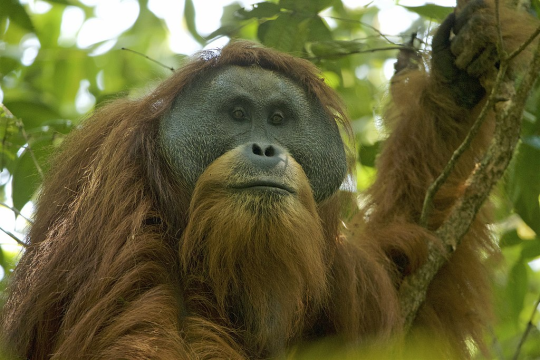 Tapanuli orangutan clipart clip freeuse library tapanuli orangutan | Tumblr clip freeuse library