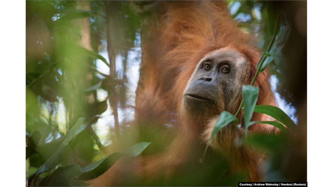 Tapanuli orangutan clipart image transparent stock New Orangutan Species Discovered in Indonesia image transparent stock